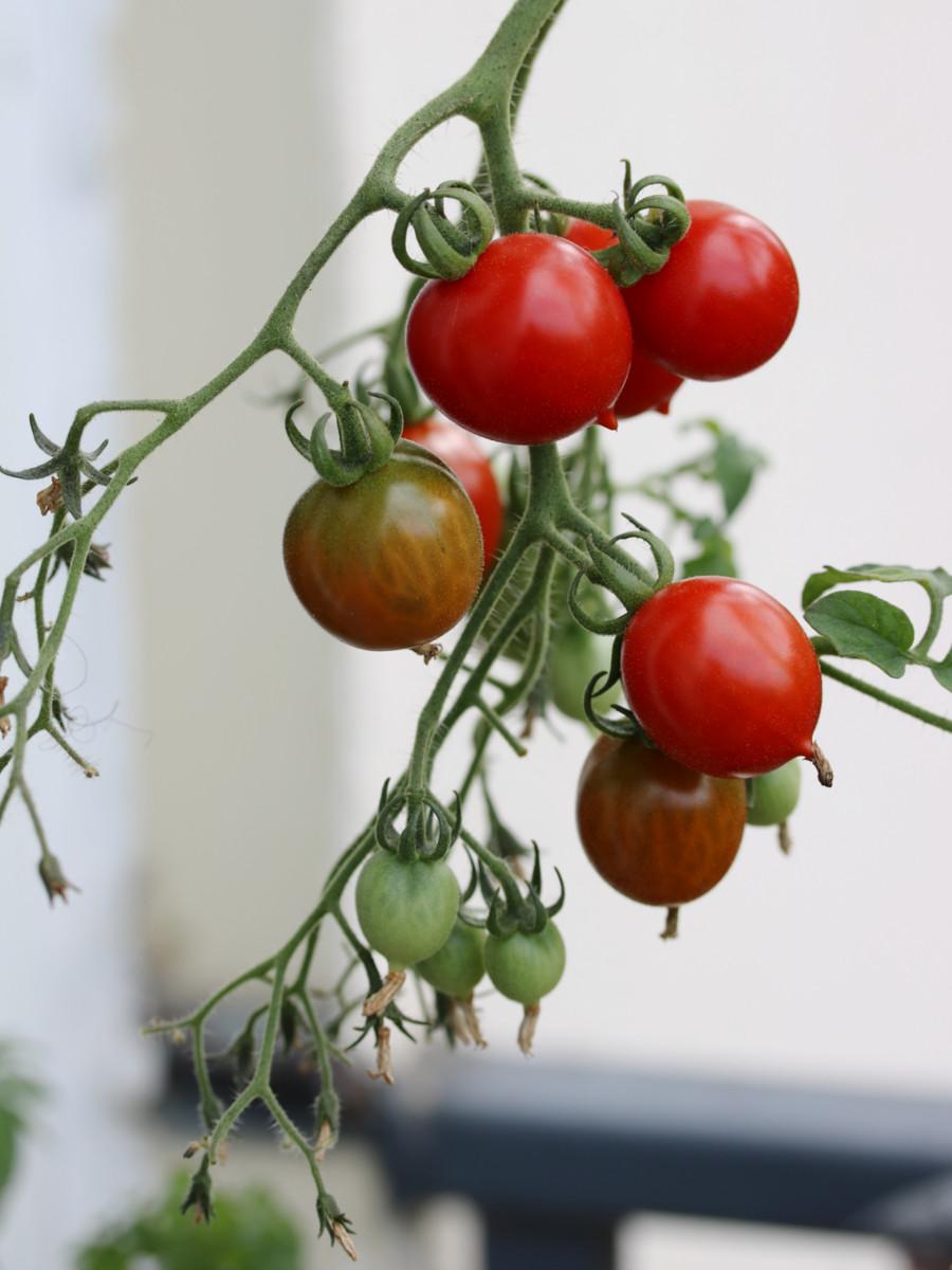 Planter Des Tomates En Pot cultiver des tomates bios en pot sur balcon - echoppe végétale
