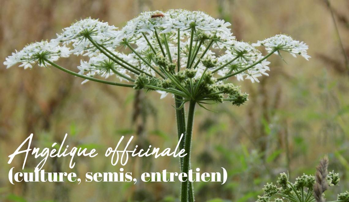 angélique officinale cultiver au potager de balcon, conseil jardinage, blog, plantes médicinale, échoppé végétale